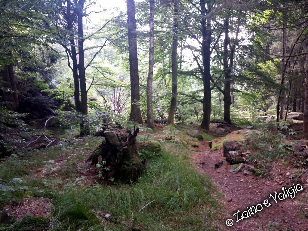 sentiero pineta