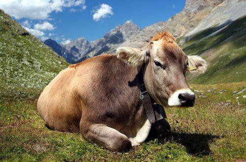 mucca montagna