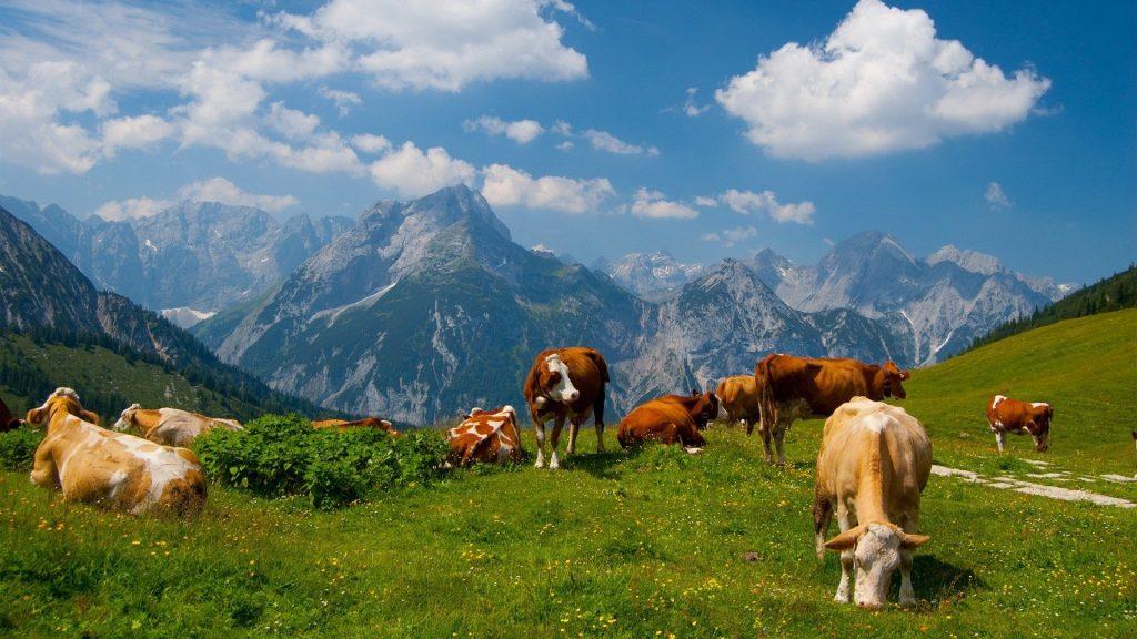 mucche sentiero