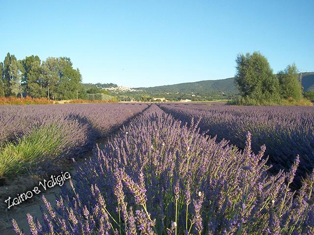 campi lavanda provenza